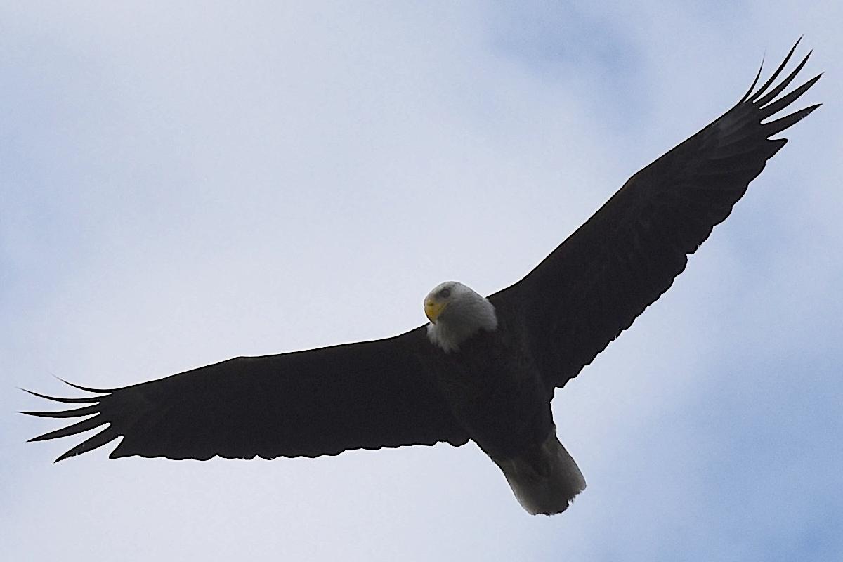 1200_B&B_shorebirds_forsythe_eagle_flight_close_2021.jpg