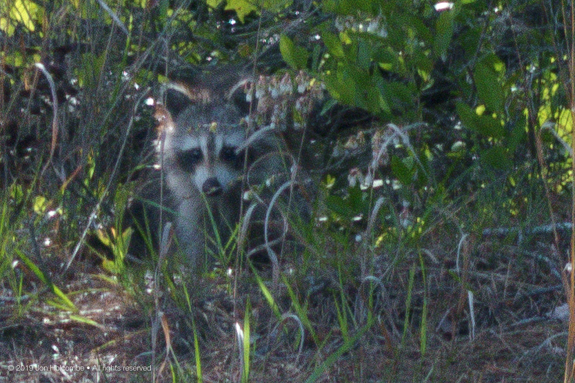 2019-05-21_raccoon.jpg