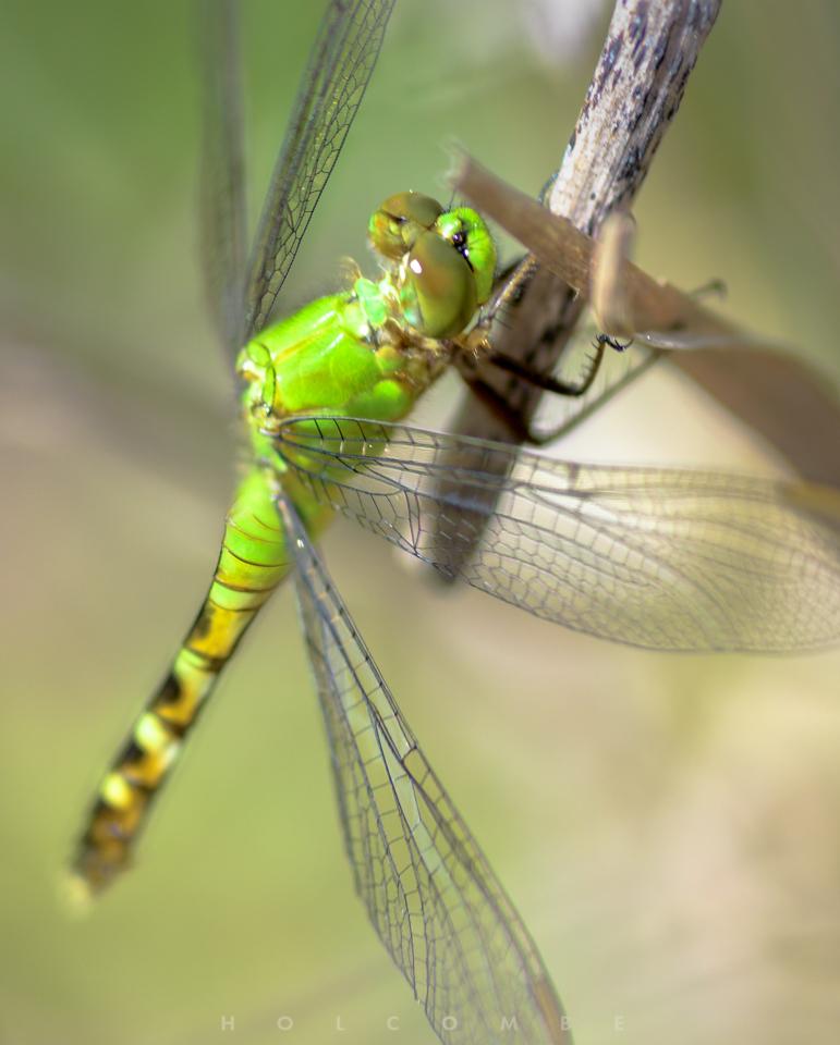 2020-05-31_green_dragonfly.jpg
