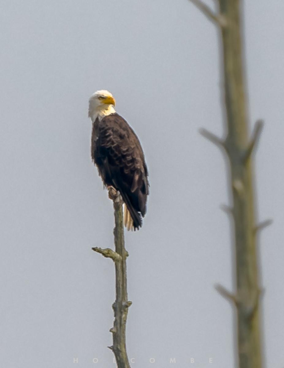 2020-06-21-eagle.jpg