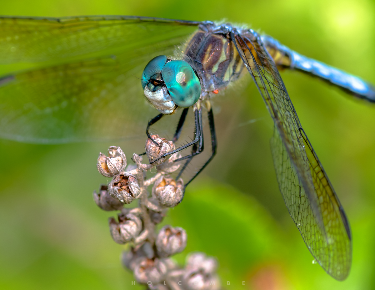 2020-07-16_blue_dasher.jpg