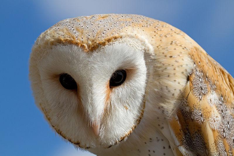 800px-Female_Barn_Owl_3_(6796235244).jpg