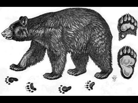 Bear track.jpg