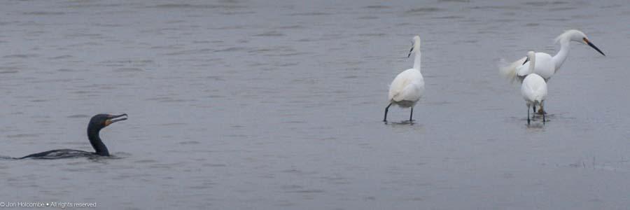 comorant_egrets_fishing-3.jpg