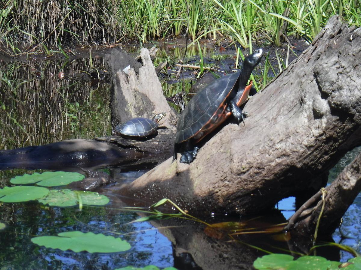 pbforum_large_small_turtle.JPG