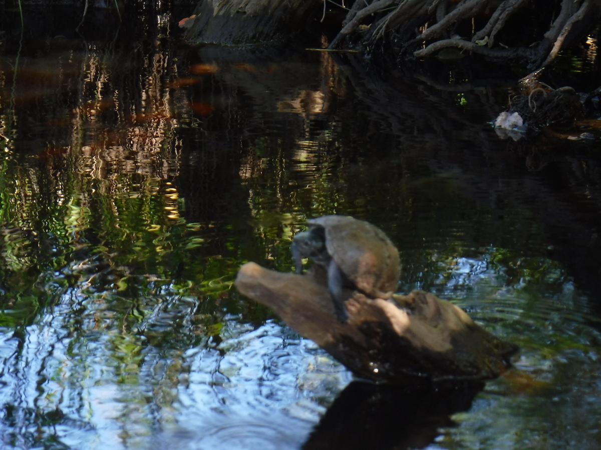 pbforum_turtle.JPG
