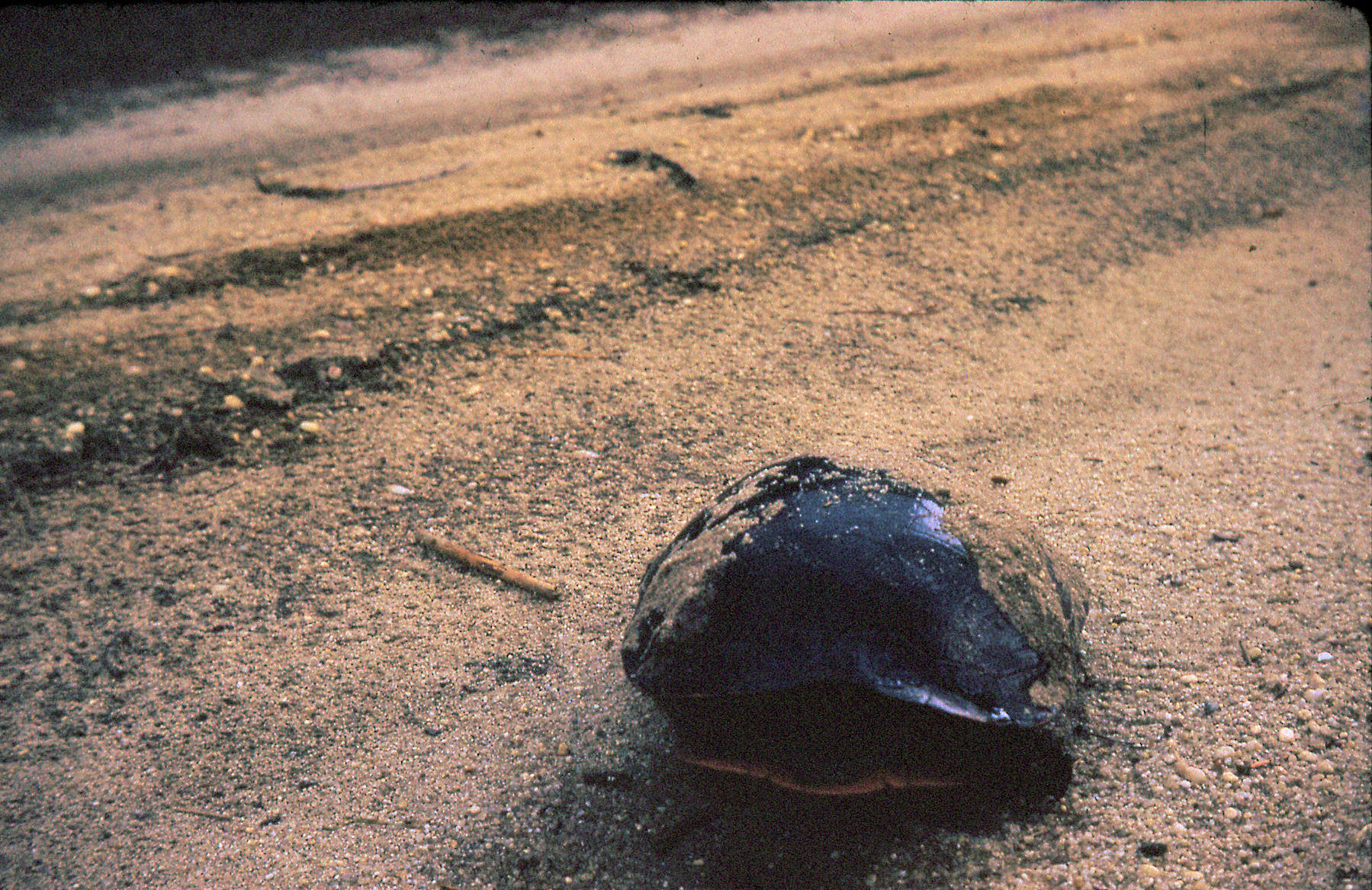 Pine Barrens tortoise July 1973.jpg
