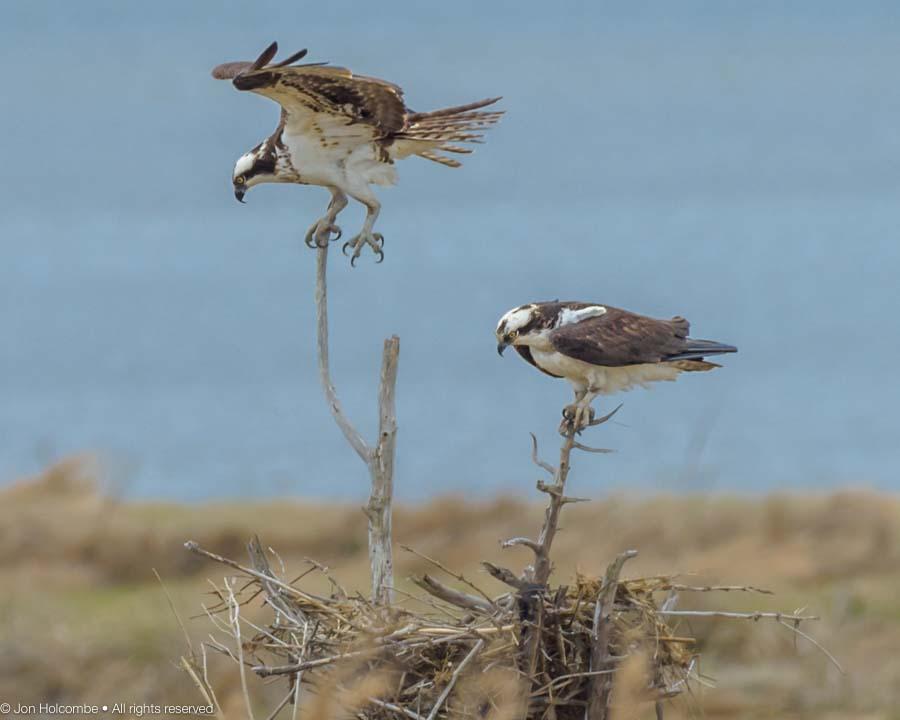 two_ospreys-3.jpg
