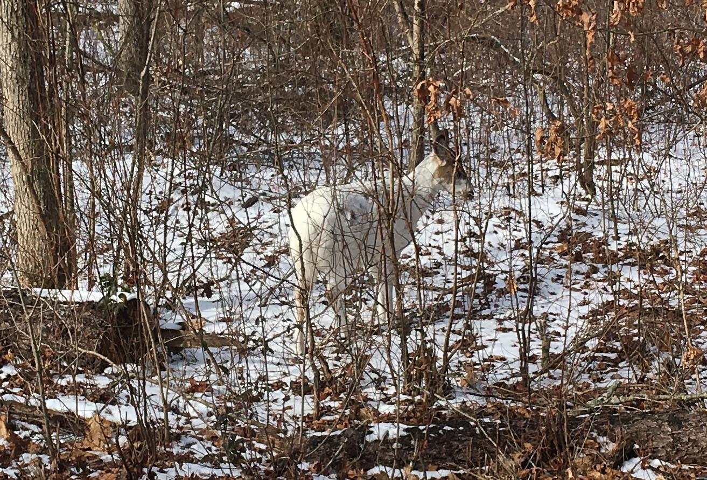 white_deer.jpg